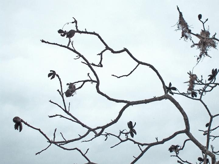 12408_pecan_tree