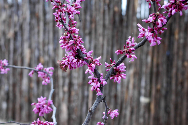 Redbud_bloom_2
