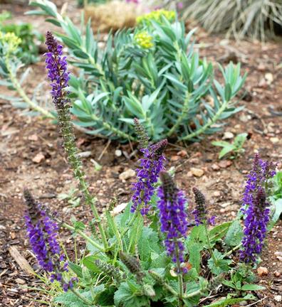 Salvia_euphorbia_2